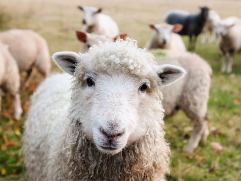 Moutons dans la nature
